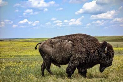 Badlands Buffalo