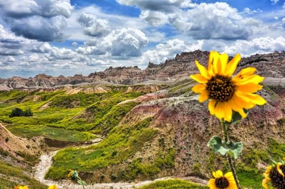 Sunflower in the Badlands