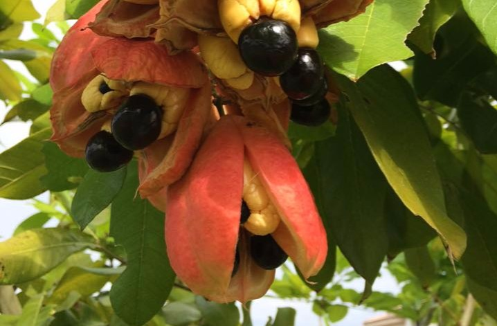 ackee fruits