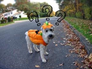 Bilde av hund i gresskarkostyme til halloween quiz
