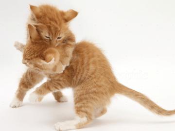 dois gatos rajados brigando