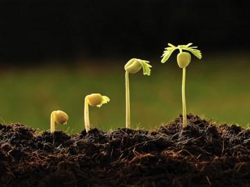 broto de feijão crescendo aos poucos