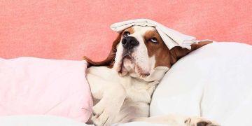 cachorro deitado na cama machucado com um paninho na cabeça