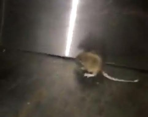 Mouse Sighted in QU Main Dining Hall