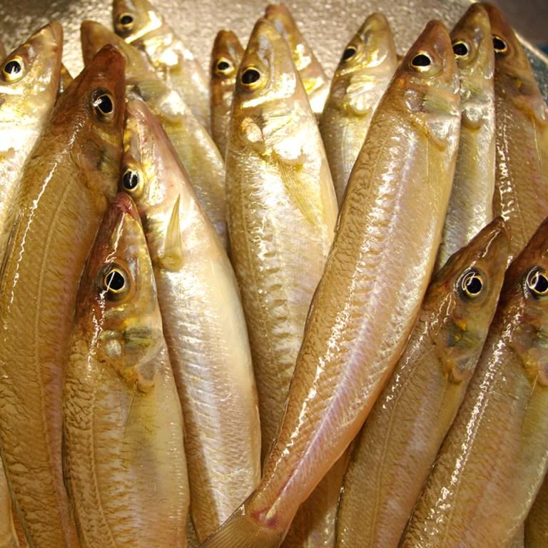 Cá bổng biển tươi xếp lớp trong thùng đá