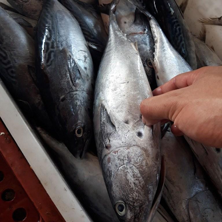 Cá ngừ tươi trong thùng đá