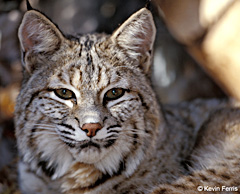 Bobcat, photo by Kevin Ferris