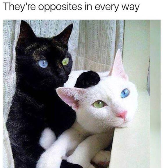 19 White Cat Meme9 Quoteshumor Com