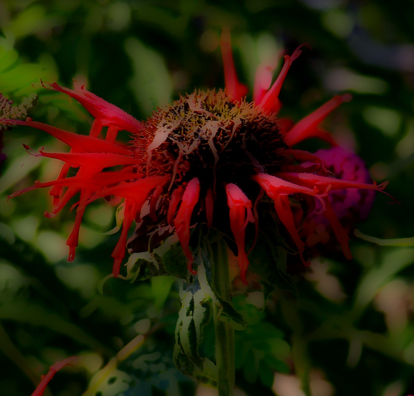 "(a single red beebalm flower, accentuated with ""gloom"" highlighting)"