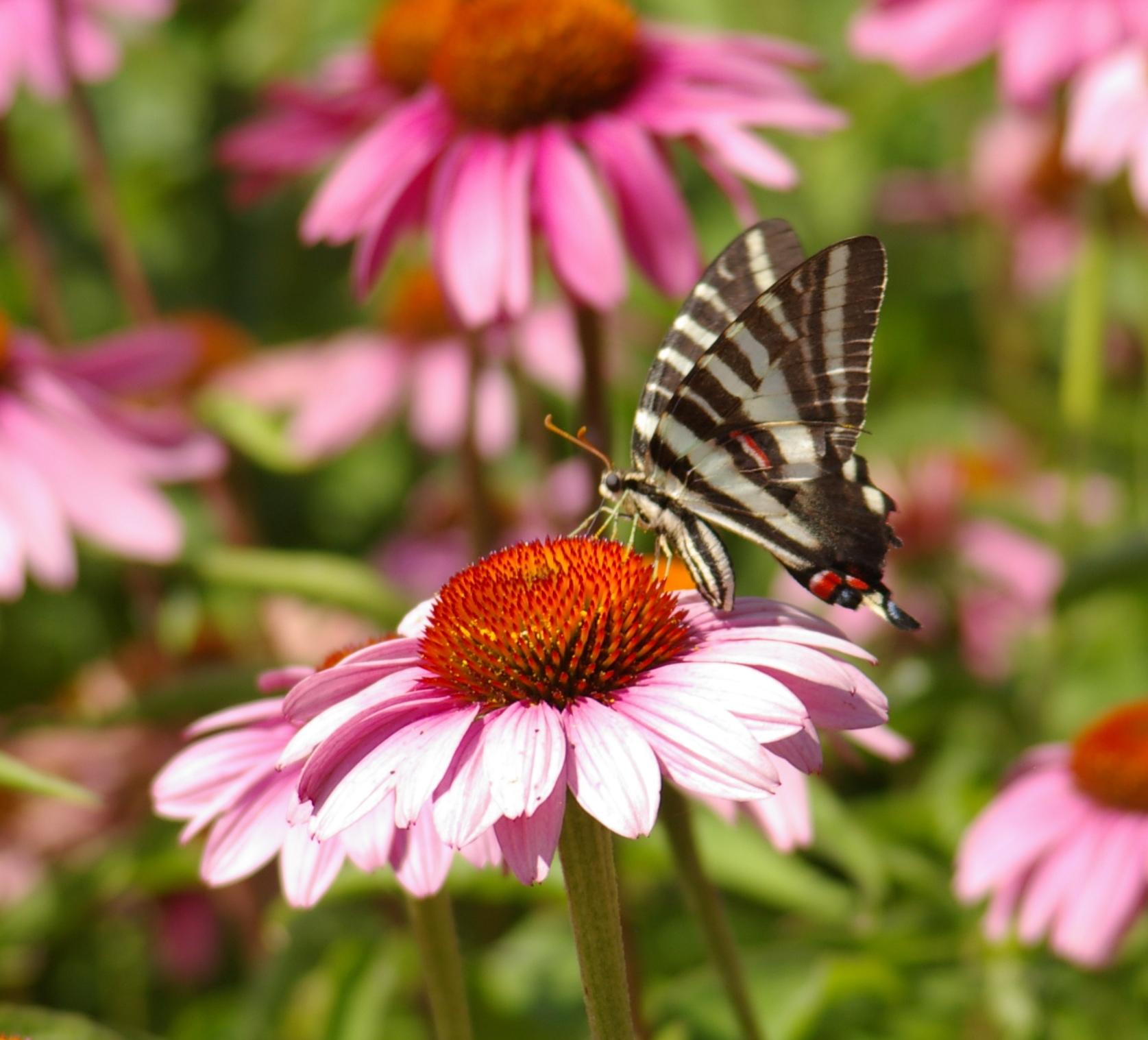A large, black and white striped butterfly nectaring no a purple coneflower