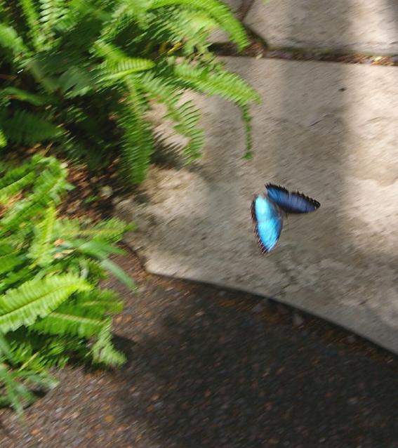 an iridescent Blue Morpho butterfly flitting by