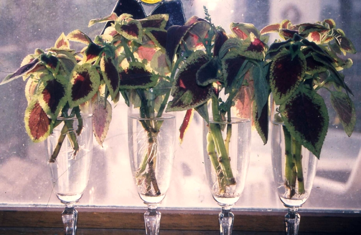Coleus cuttings rooting in water-filled champagne flutes on a window sill