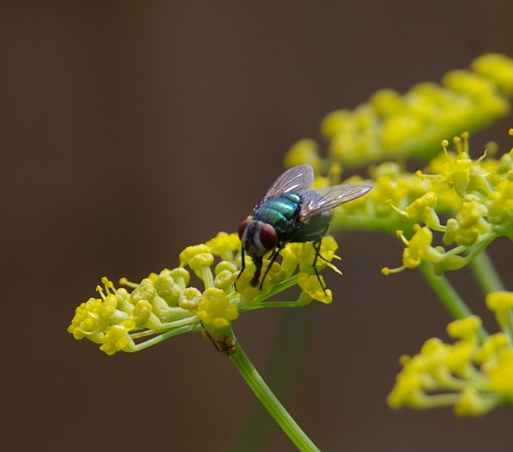 A shiny green fly sponging up nectar from a fennel flower head