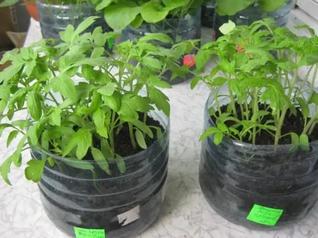 Plastik bir şişede domates fideleri nasıl yükseltilir