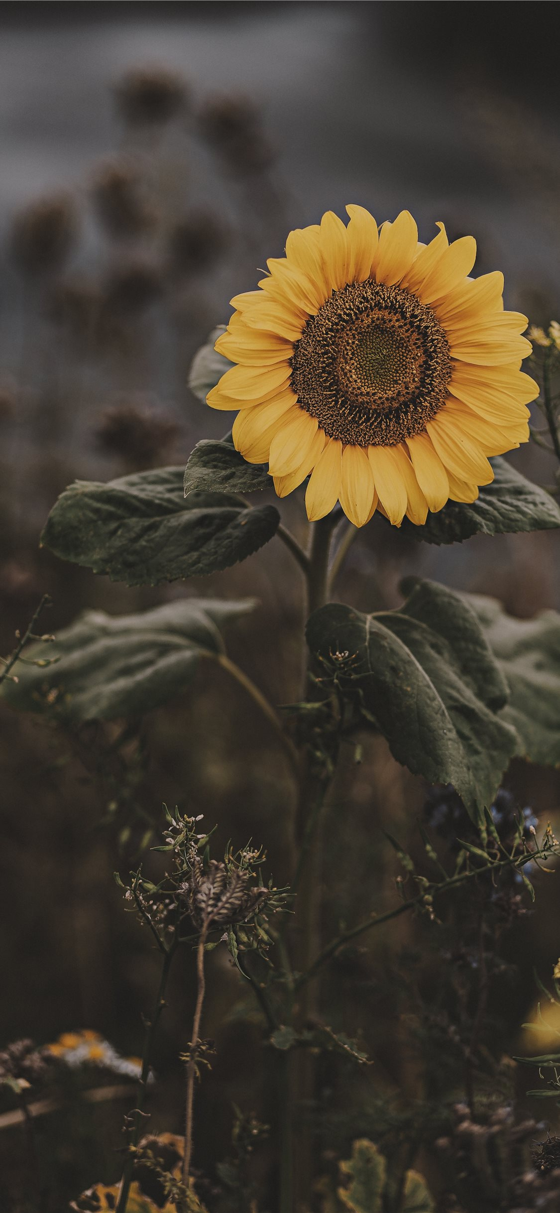 Sunflower Iphone 11 Wallpapers Free Download