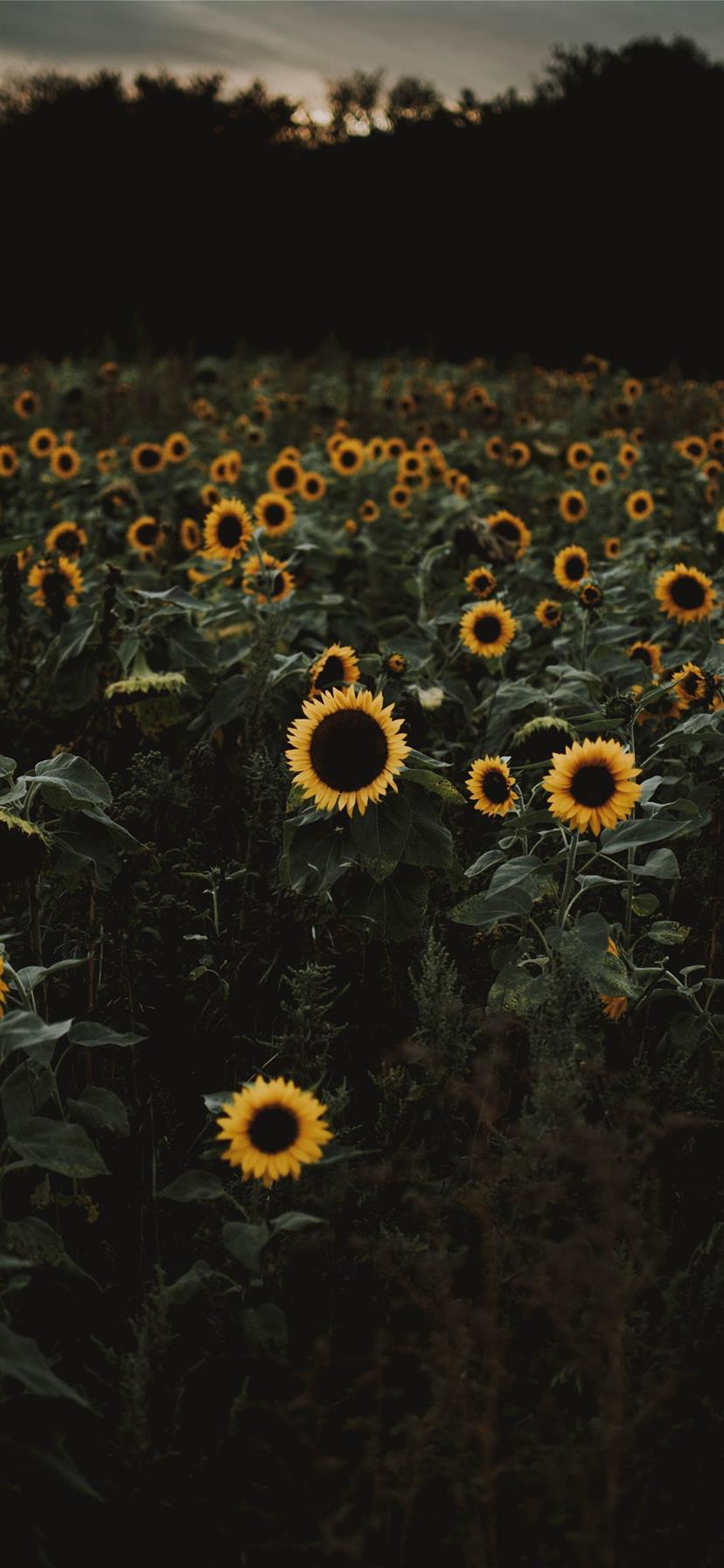 Best Sunflower Iphone 11 Wallpapers Hd Ilikewallpaper