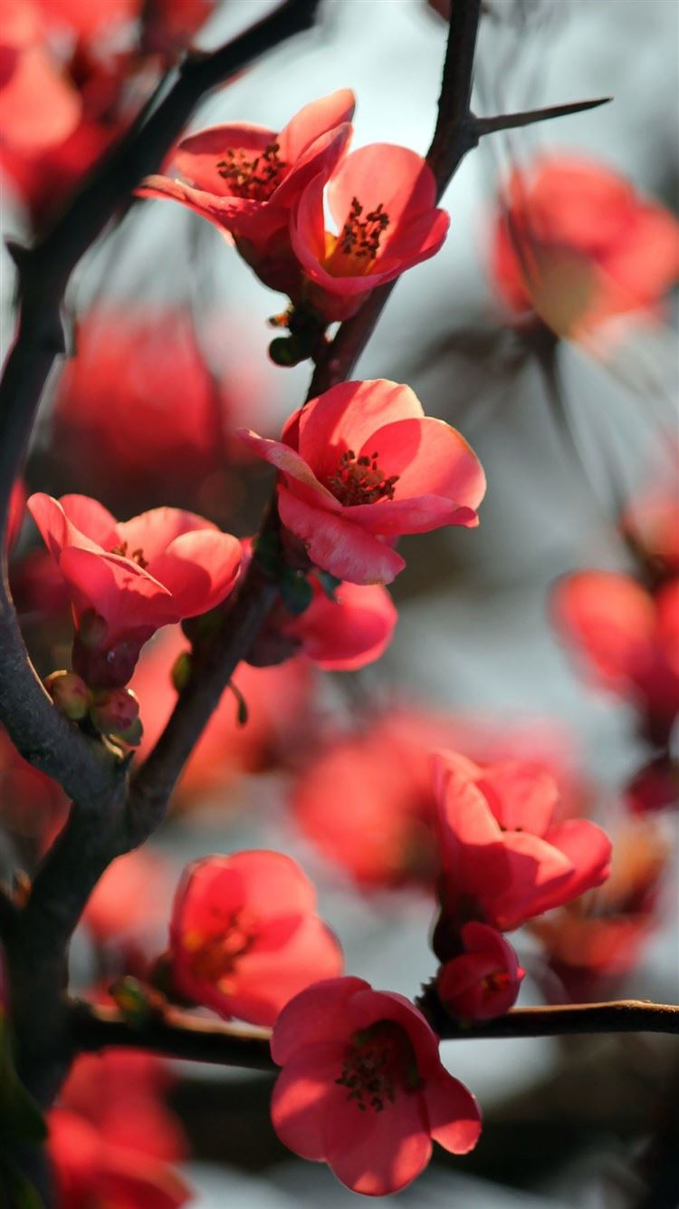 Red Cherry Tree Flowers Iphone 8 Wallpapers Free Download