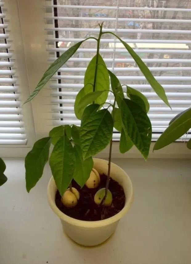 Авокадо – уход за растением, выращенным из косточки дома