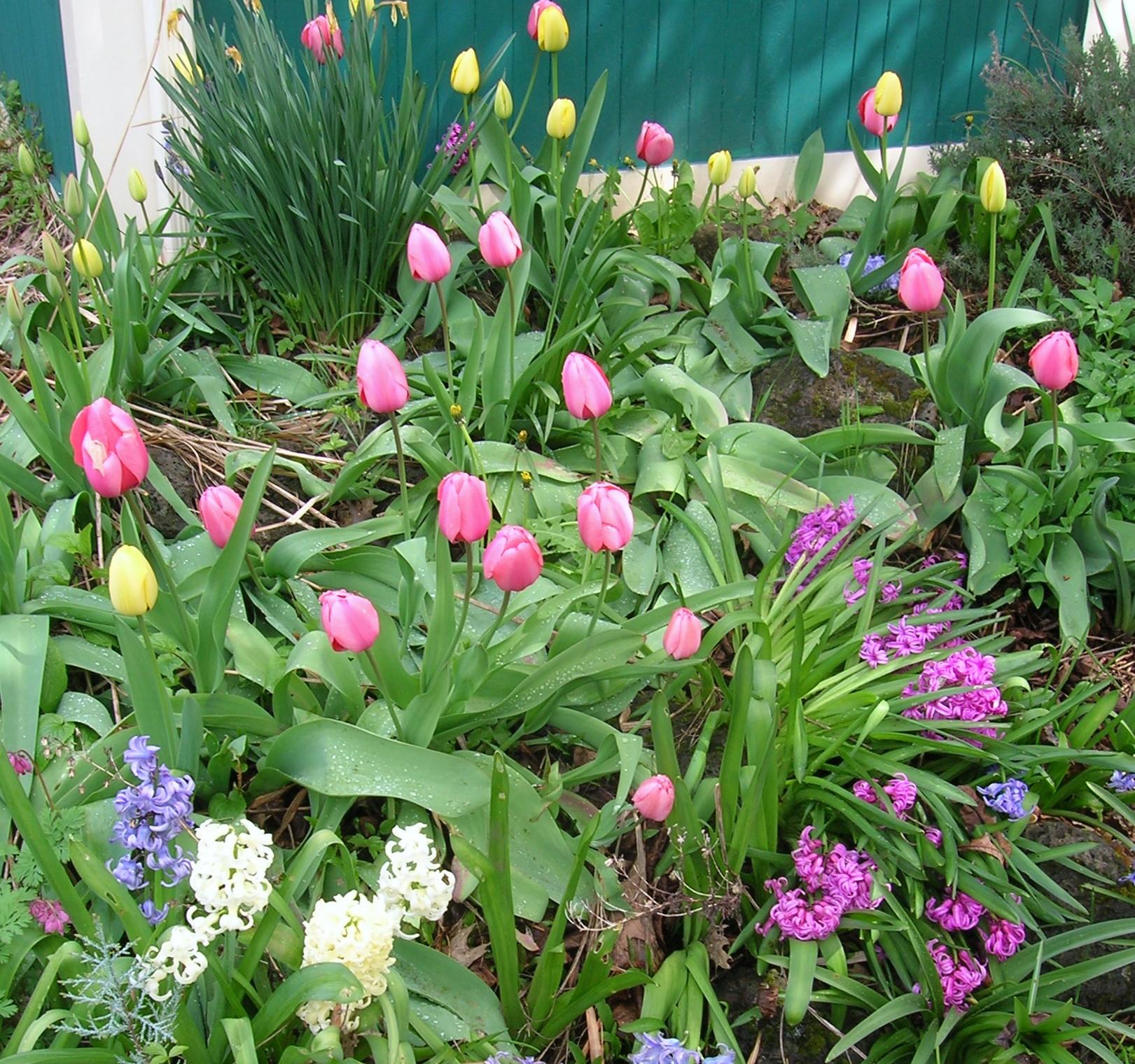 tulips-hyacinth