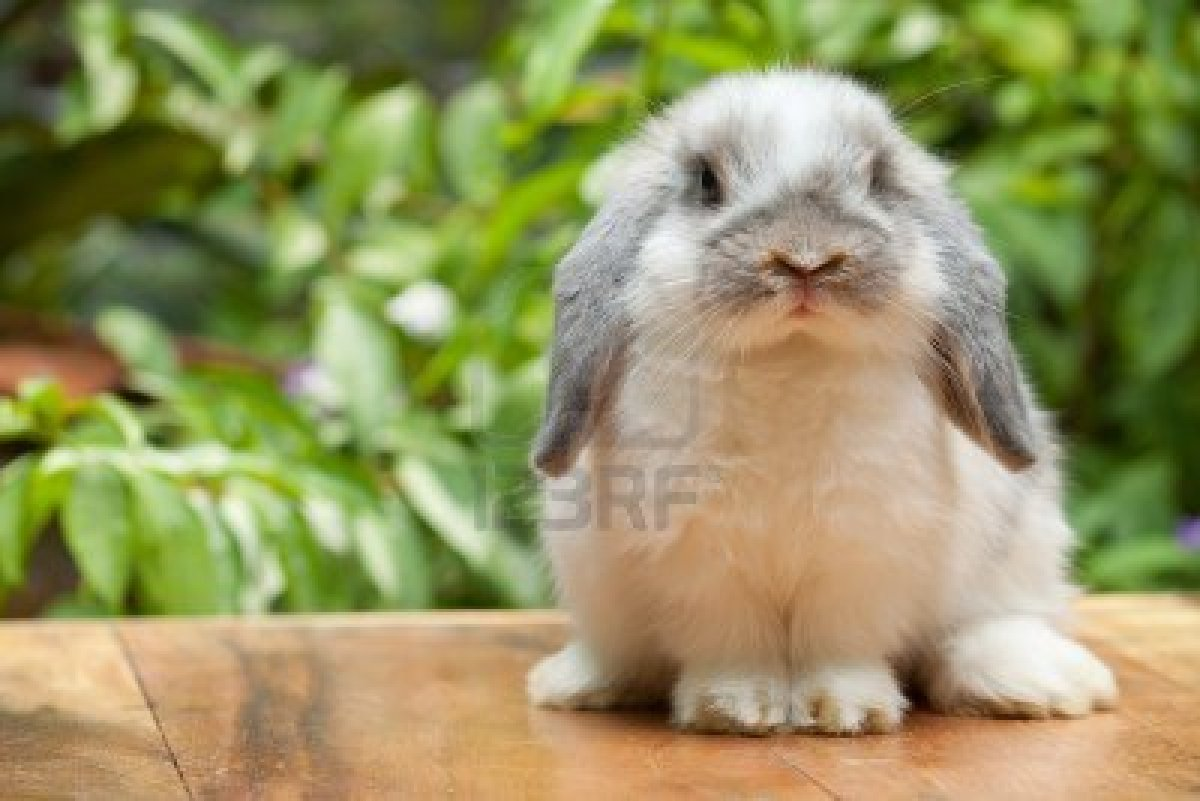 32 Holland Lop Bunnies Near Lubbock Texas Rabbits For