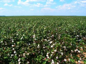1280px-Cotton_fields,_Tensas_Parish,_Louisiana,_USA_5