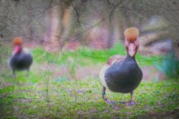 Ducks Outside The Water