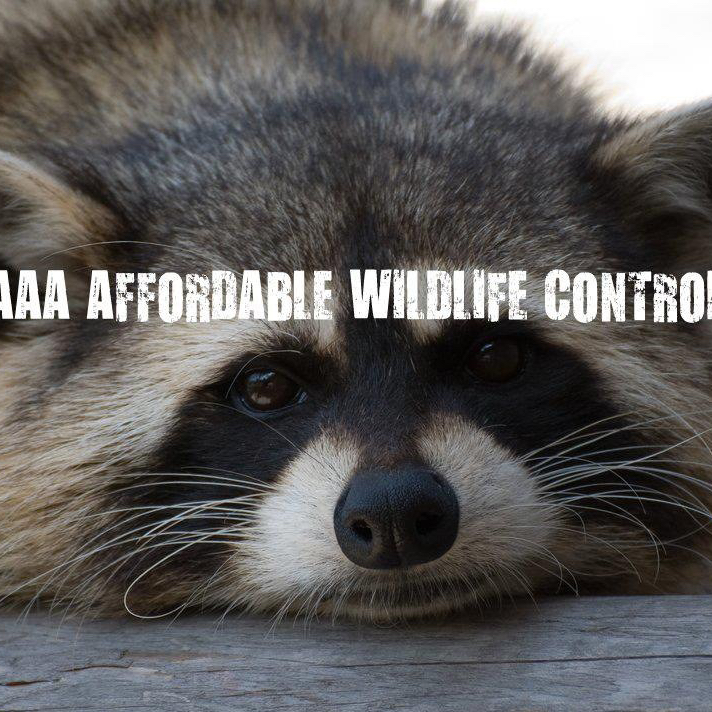 Raccoon Removal Toronto Reviews, AAA Affordable Wildlife Control Reviews, Wildlife Removal Toronto Reviews
