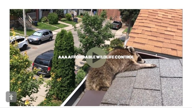 Raccoon Removal Toronto, Raccoon Control and Removal Service in Toronto