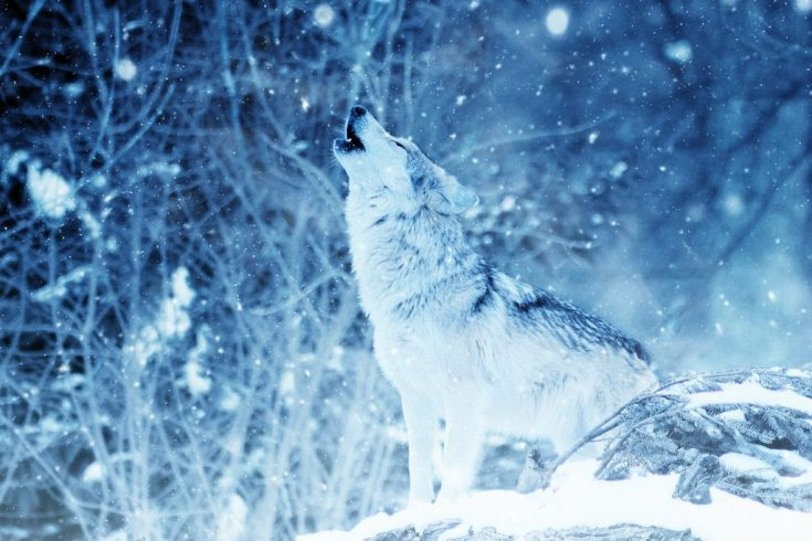 The wolf never runs from its role, but instead takes pride in the hierarchy. From the Alpha to the Omega, EVERY wolf has an individual part to play within the pack. #SelfDevelopment #Leadership #TrueAlpha