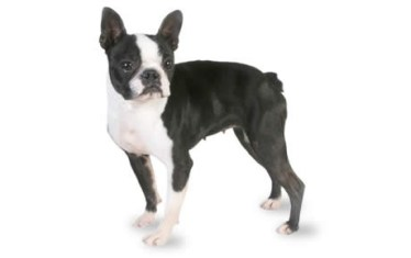file_23138_boston-terrier-460x290