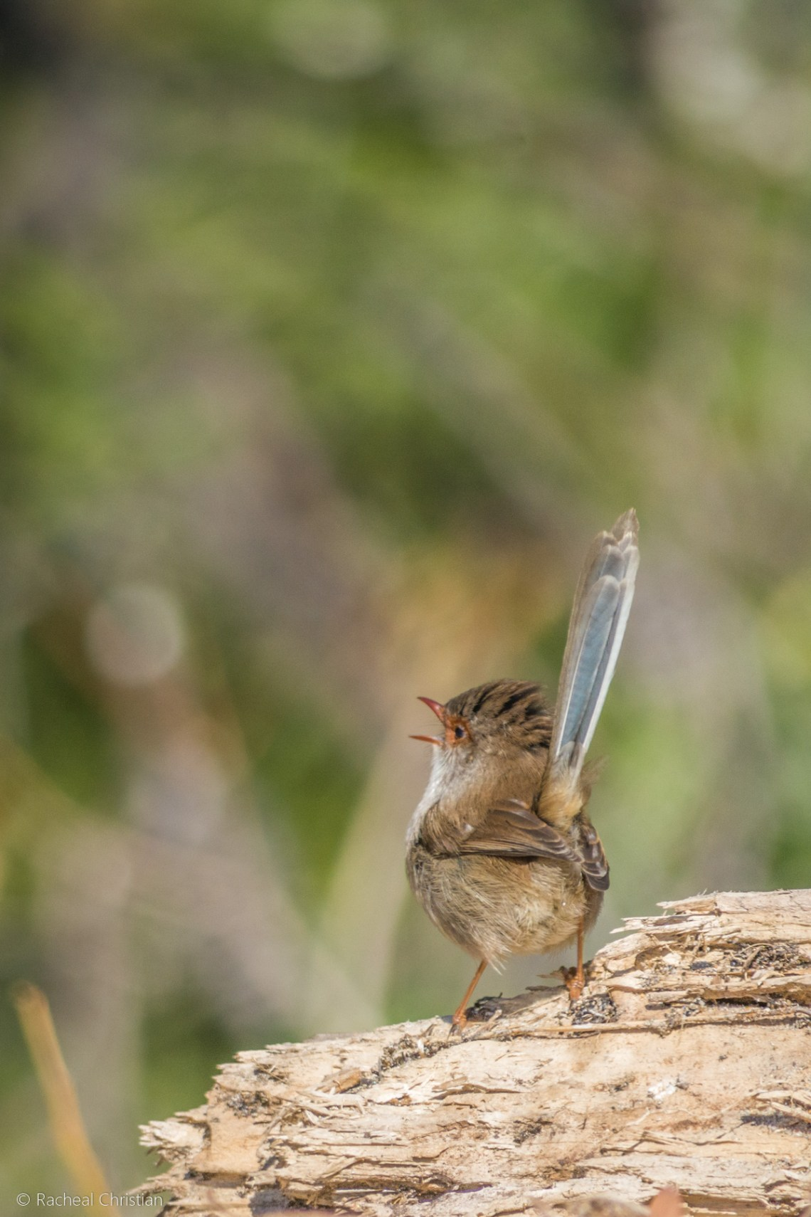Bird Photos: Female Superb Fairy Wren, Malurus cyaneus Photographed by Racheal Christain rachealchristianphotography.com