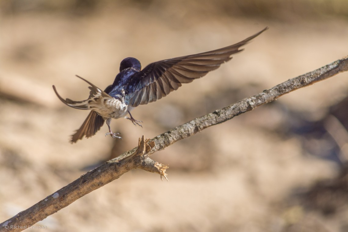 Bird Photos: Welcome Swallow, Hirundon neoxena. Photography by Racheal Christian rachealchristianphotography.com