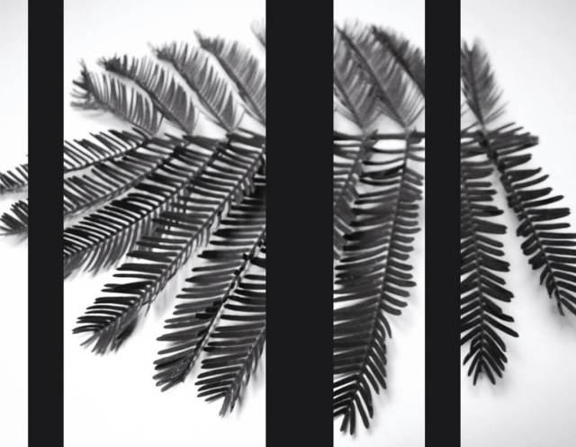rachela abbate Mimosa_1_herbarium-series-by-Rachela-Abbate herbarium