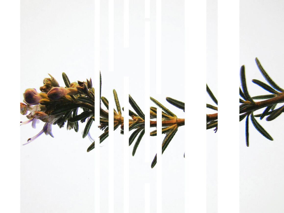 rosemary_herbarium-series-by-Rachela-Abbate