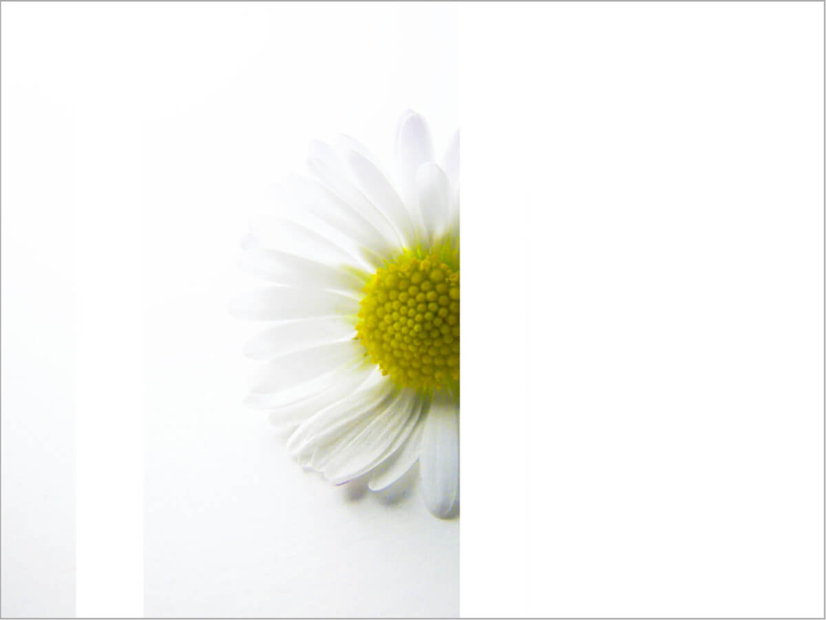 rachela abbate daisy_herbaium-series-by-Rachela-Abbate herbarium