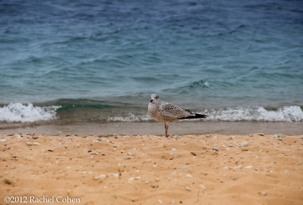 A lovely Gull standing alone on the shores of Lake Michigan!
