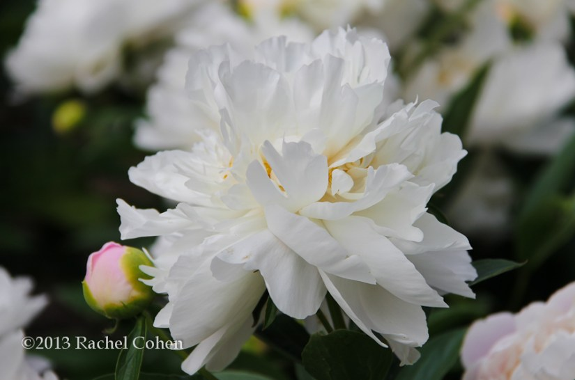 """Peonies in White"""