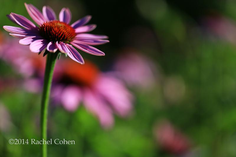 -Purple Coneflower Dream-  800x600