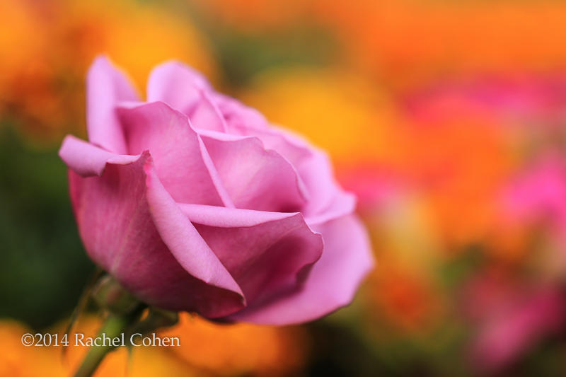 """""""Sangria"""" A Rose among many colorful flowers!!"""