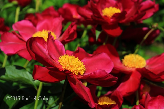 """""""Dusted in Yellow"""" Beautiful red peonies with a large golden center, fully opened to the morning sunlight!"""