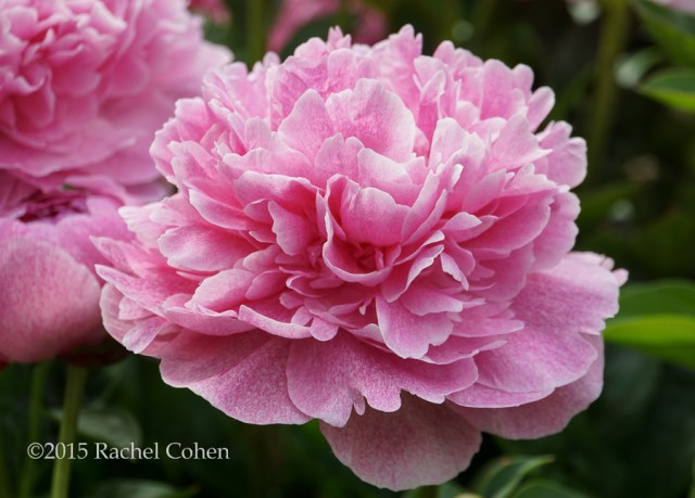 """Pink Sorbet"" That's what this gorgeous puffy and full blossom reminds me of. I also love the mottled pink color, not found in other peonies that I've seen before!"