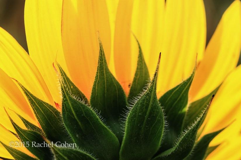 """Sunflower Halved"" Wonderful sunlight streams through this beautiful half of a sunflower!"