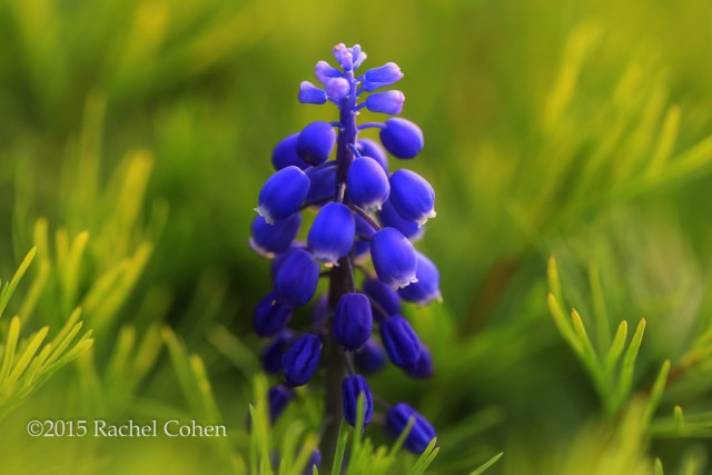 """Grape Hyacinth""2 One of many beautiful Grape Hyacinth this spring!"