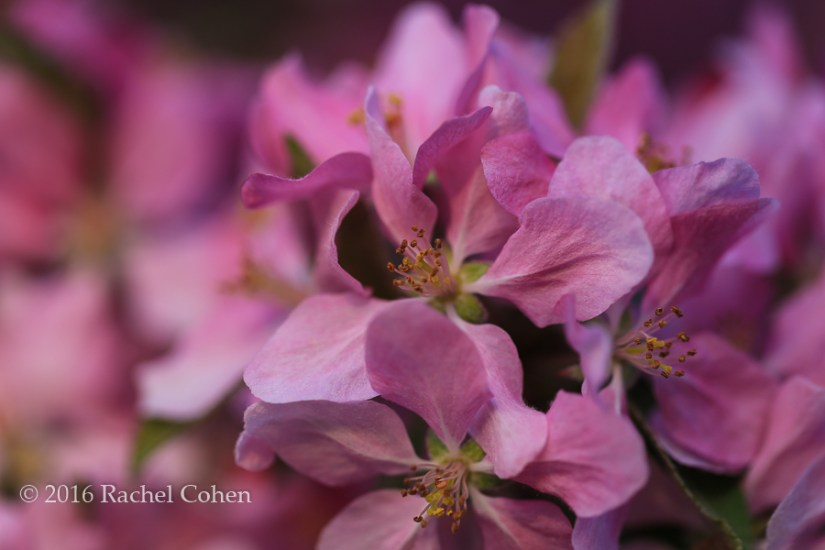 """Feel the Love"" Gorgeous deep pinkish purple crab-apple blossoms!"