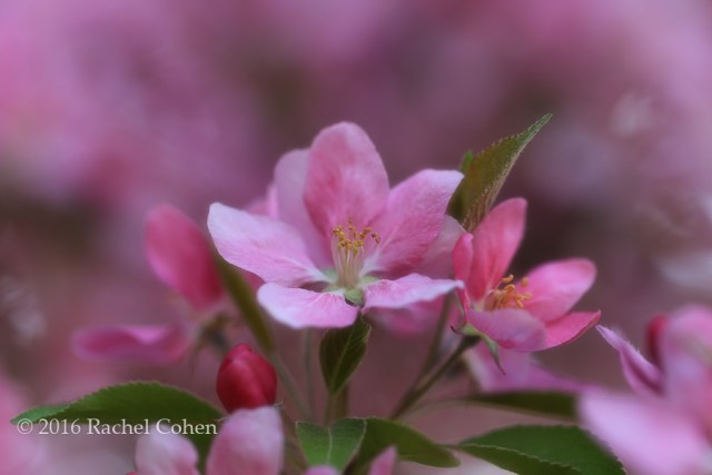 """Pink Bling"" Lovely colorful pink crab-apple blossoms from last spring."