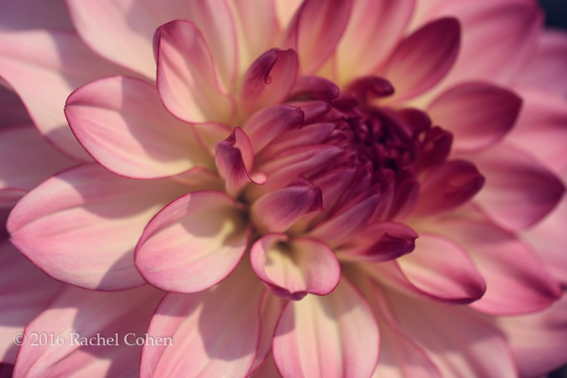 """Dahlia Darling"" Beautiful mauve and white petaled Dahlia!"