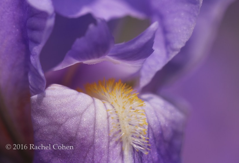 """""""Iris abstract"""" I love the different varieties of Iris, and this one was one of the first to bloom this year!"""