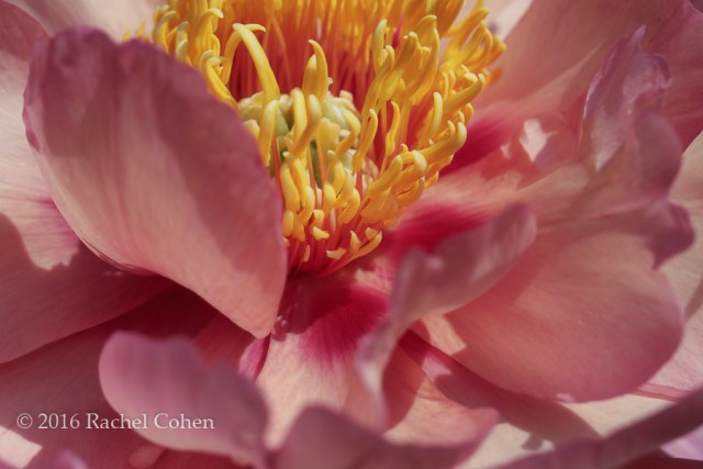 """Peony in Peachy Pink"" A beautiful macro of a peach and pink hued Peony!"