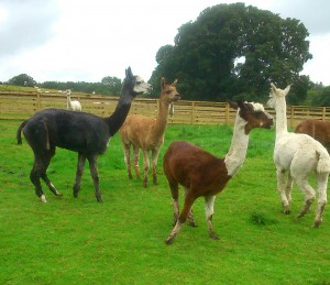 Colourful Male Alpacas ©Rachel Gibbs