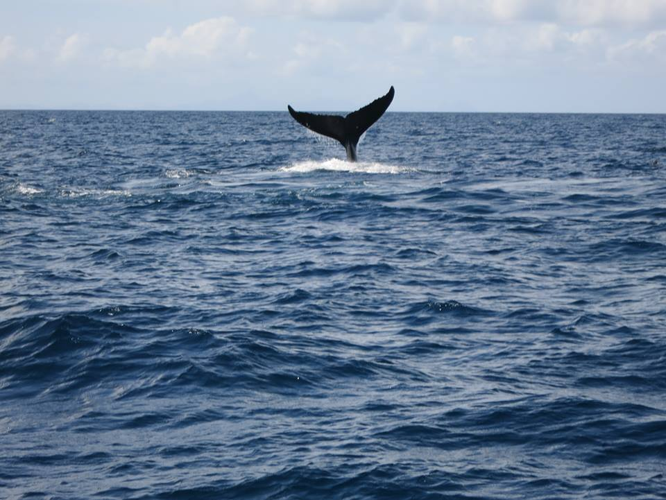 the whale's tail above the water's surface on the Martinique boat trip